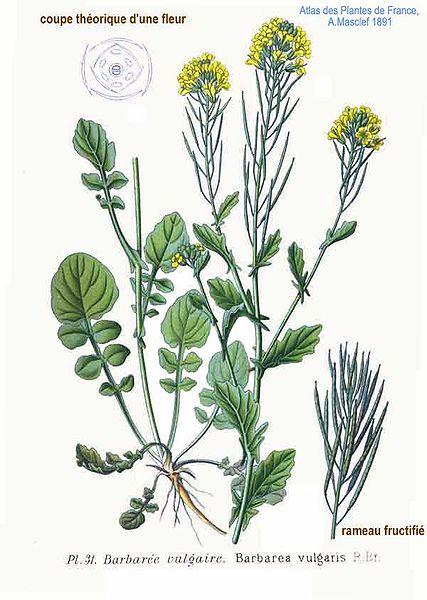burbarea vulgaris