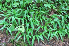 A nice patch of wild iris in the forest at Joyce Kilmer