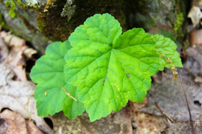 Leaves of foamflower