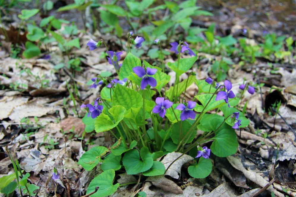 Marsh Blue Violets
