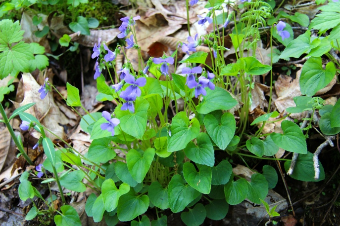Marsh Blue Violets: flowers are held above the leaves