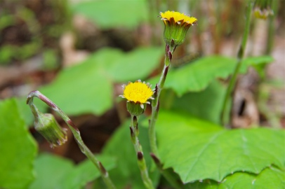 Coltsfoot later in the spring; stem covered in purplish bracts