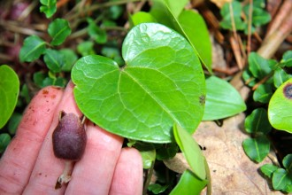 Virginia Heartleaf