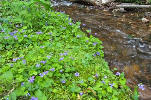 Marsh Blue Violets growing streamside