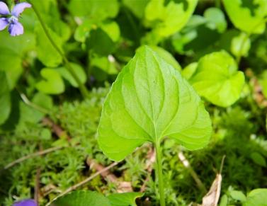 Leaf of Marsh Blue Violets