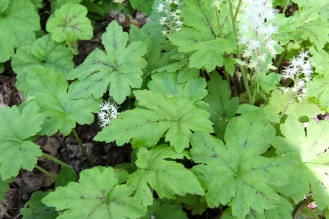 Foamflower in a home shade garden