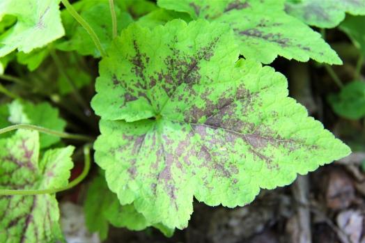 Leaf of foamflower: home garden