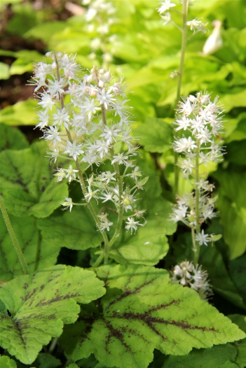 "The ""foamy"" sprays of foamflower in a home shade garden"