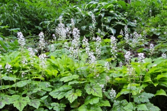 Foamflower growing along with lemon-lime hosta in a home garden