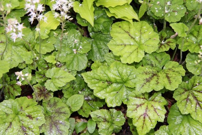 Leaves of foamflower