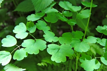 Meadow Rue foliage