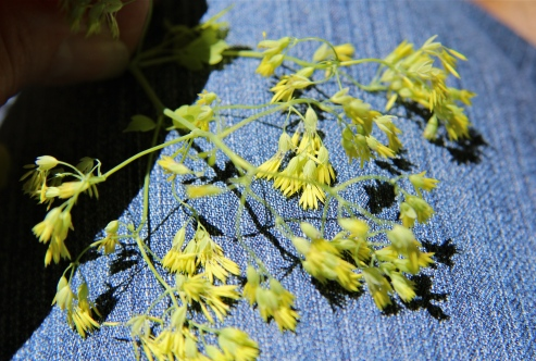 Meadow rue male flowers