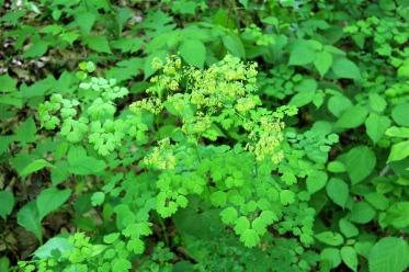 Meadow Rue in flower