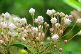 Flower buds of Mountain Laurel