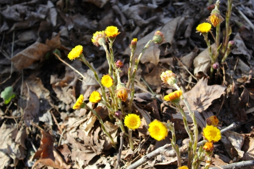 Coltsfoot coming up along a roadside in April. There are no leaves at this stage.