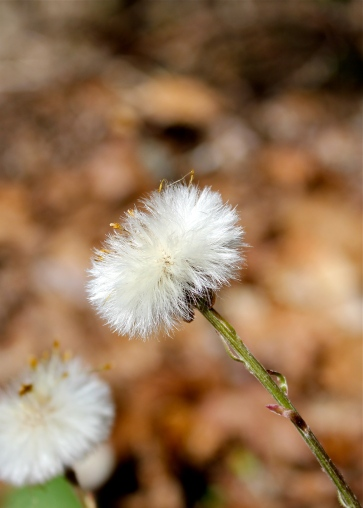 Coltsfoot (gone to seed)