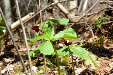 Red trillium at Bottom Creek Nature Conservancy in April 2015