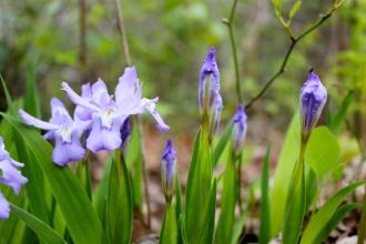 Dwarf Crested Iris