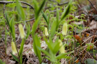 Wild Oats, or Sessile Bellwort