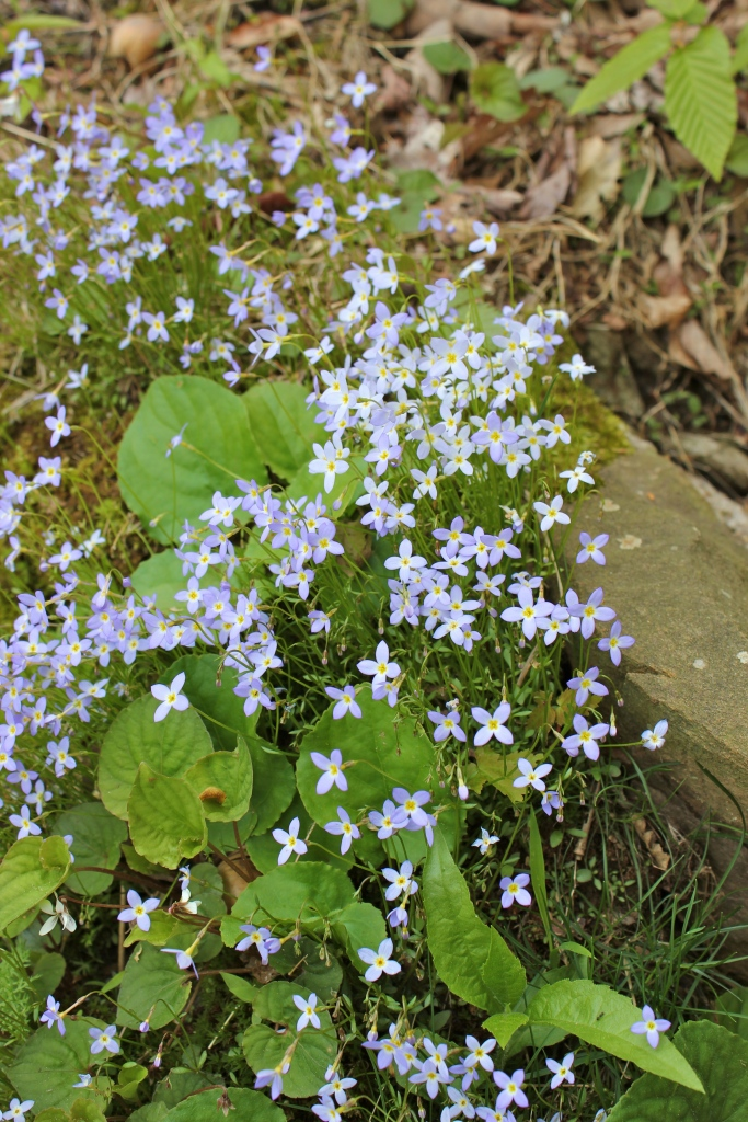 Quaker Ladies or Bluets