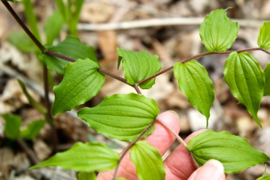 Strongly-veined, alternate leaves of Fairybells or Yellow Mandarin