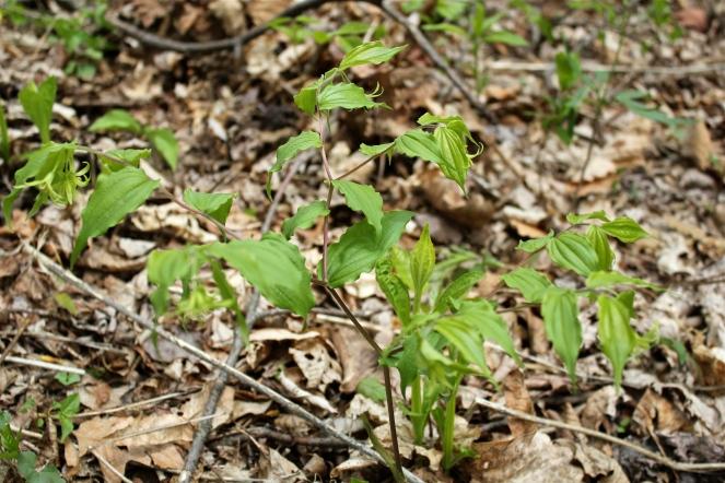 foliage ofFairybells or Yellow Mandarin