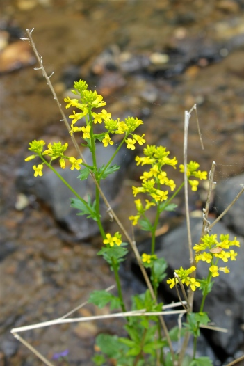 Winter Cress or Yellow Rocket