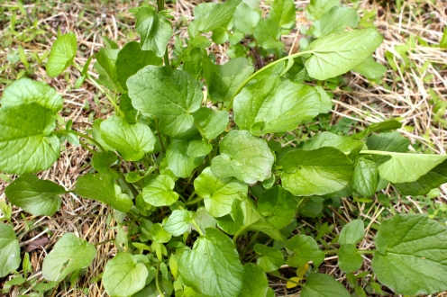 Basal leaves of Winter Cress or Yellow Rocket