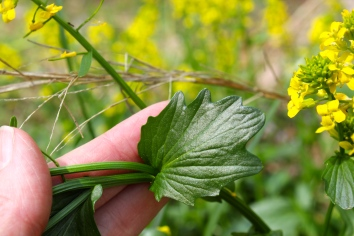 dark green, clasping, and toothed stem leaves of wintercress