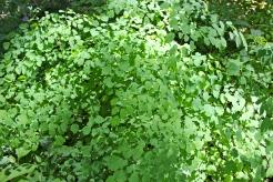 Meadow Rue foliage