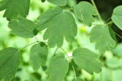 Meadow rue leaflets are lobed