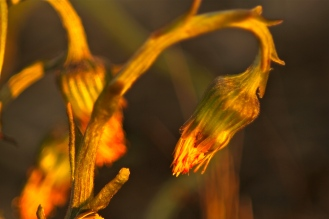 Coltsfoot flowers close at night