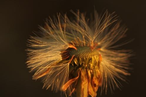 Seedhead of coltsfoot