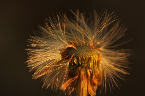 Seedhead of coltsfoot