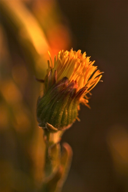 Coltsfoot flowers close at night!