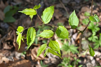 alternate, strongly veined leaves on pubescent stems