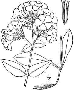 phlox_latifolia