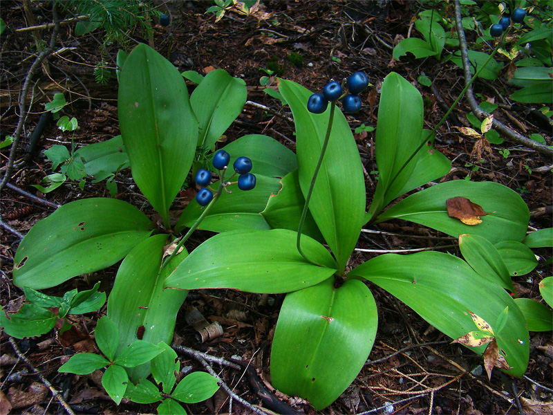 The blue-bead fruit of Yellow Clintonia; image courtesy of the Fungus Guy (Wikimedia)