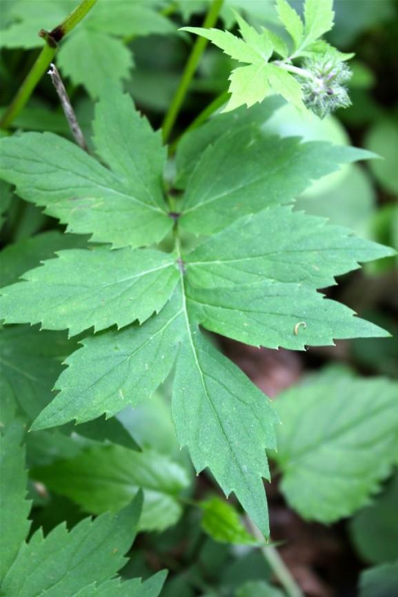 Virginia Waterleaf leaf
