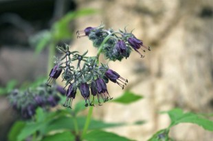 Virginia Waterleaf flowers can be violet, deep purple, or white