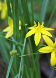 Yellow Star Grass