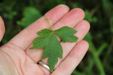 top side of leaf