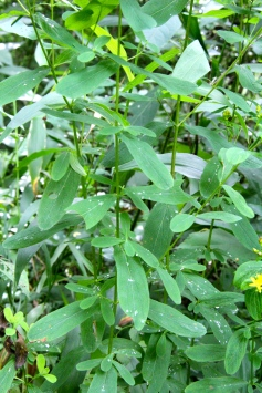 the foliage of Spotted St. Johnswort
