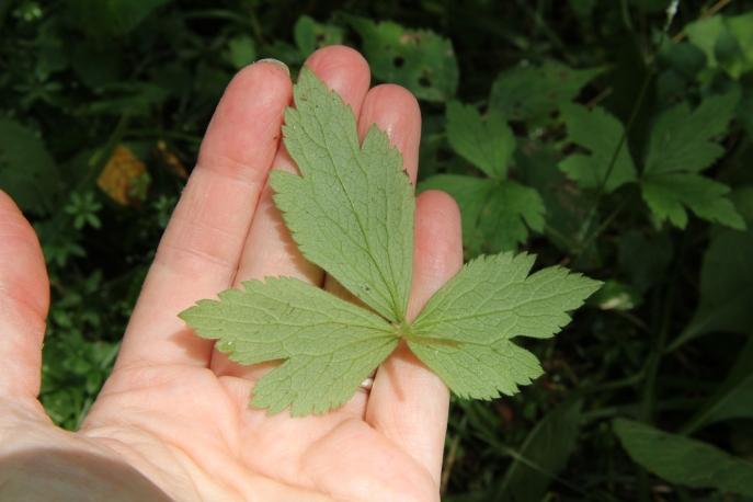 Underside of 3-lobed leaf