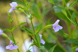 Allegheny monkeyflower, Square-stemmed Monkeyflower