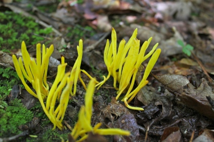 Yellow spindle coral fungus