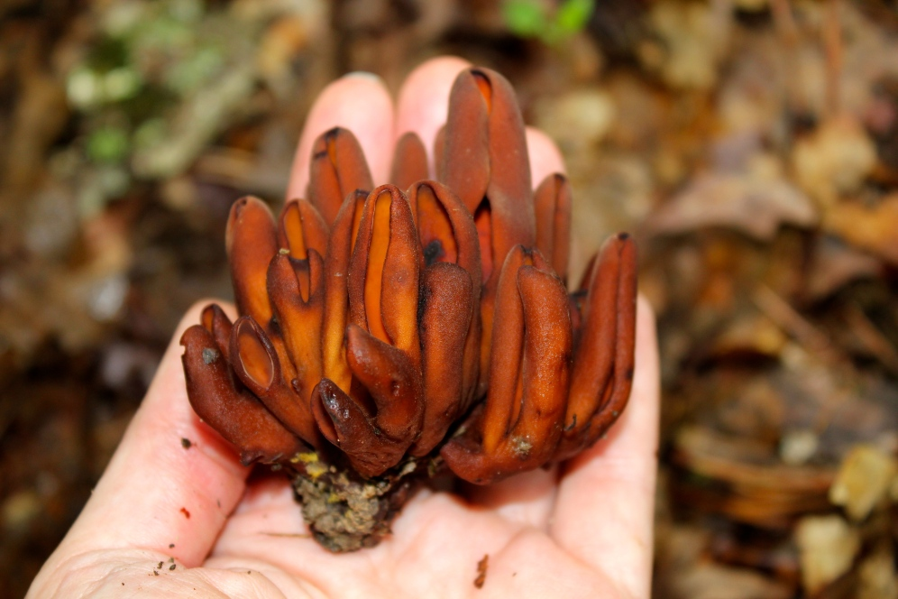 Young fruiting bodies of Wynnea
