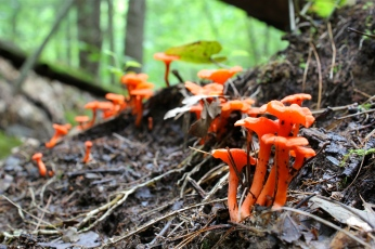 Red chanterelles