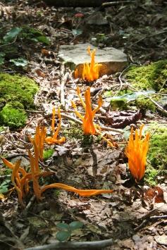 Orange Spindle Coral