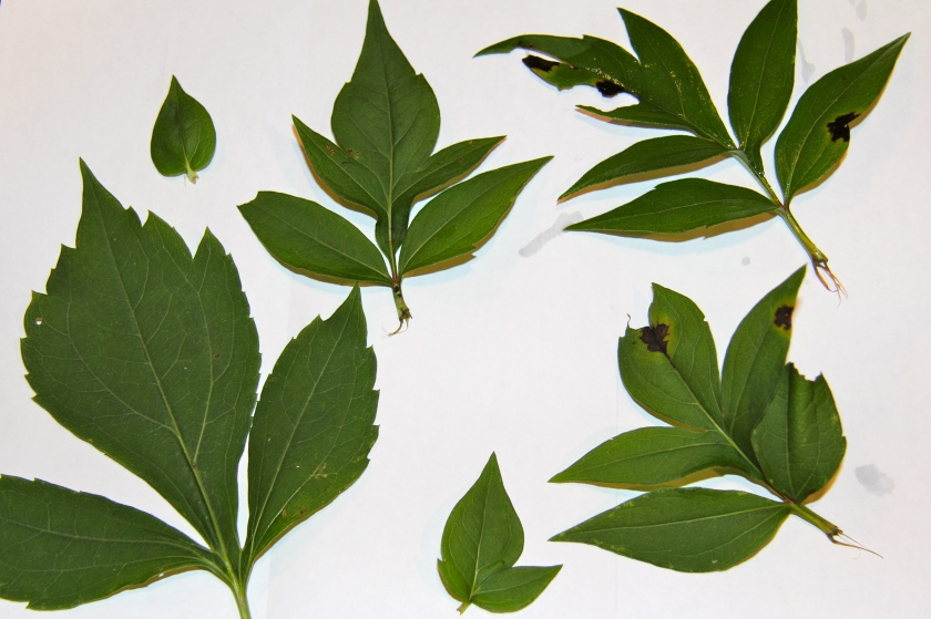 The leaves of Green-Headed Coneflower